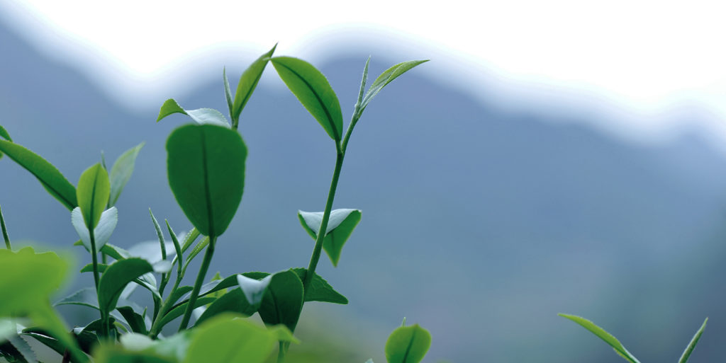 Photo of green tea trees in spring mountains